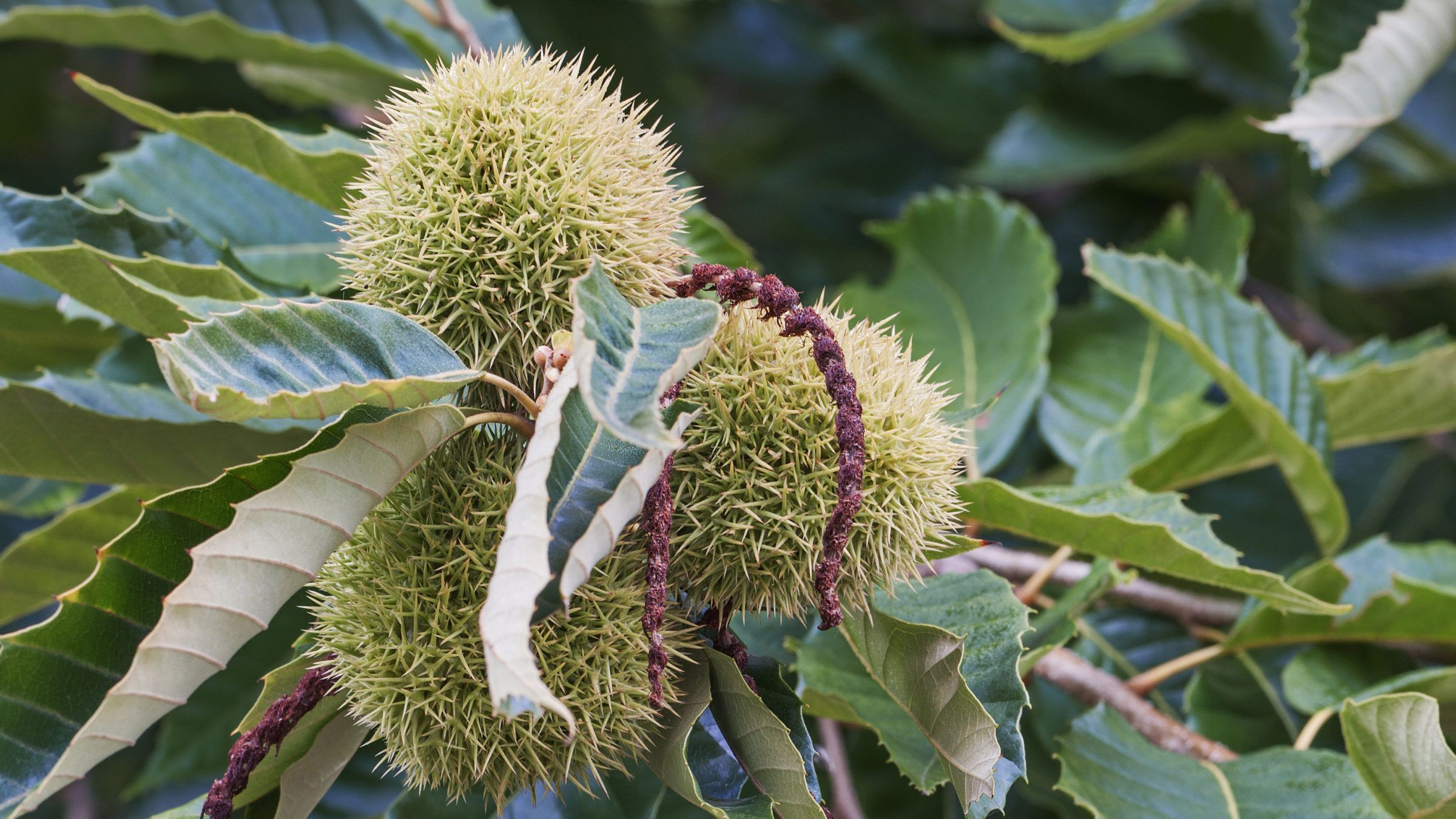 The USDA Should Let People Plant Blight-Resistant American Chestnut Trees