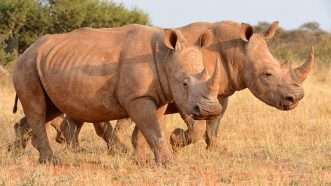 Rhino horn is not an aphrodisiac