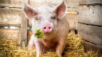 reason-pigs