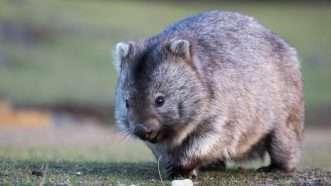 wombat_1161x653