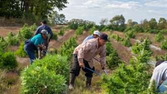 Workers harvesting hemp in Paw Paw. Michigan