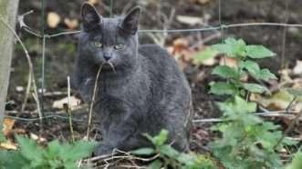 feral-cat-needpix