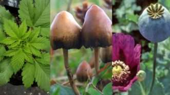 cannabis-mushrooms-poppies-cropped