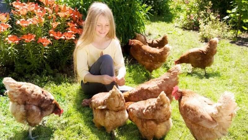 chickens_1161x653