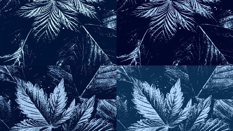 cannabis-leaves-2-MIS-Photography