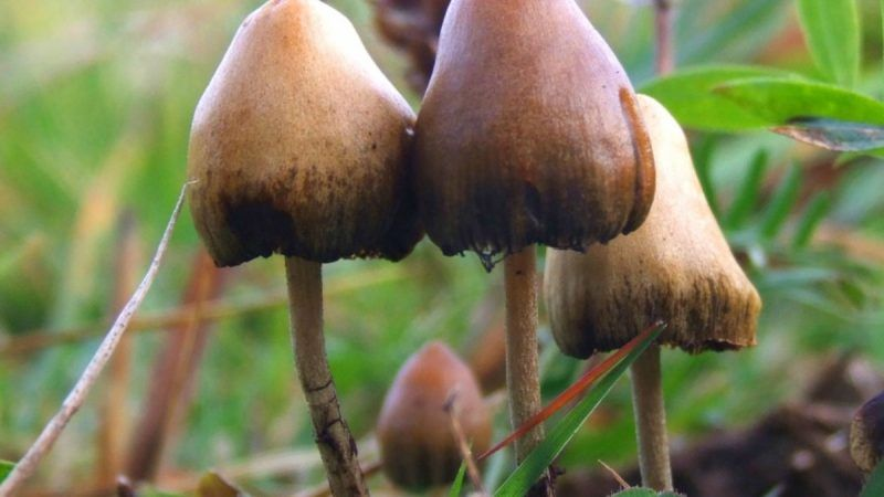 psilocybin-mushrooms-Wikipedia