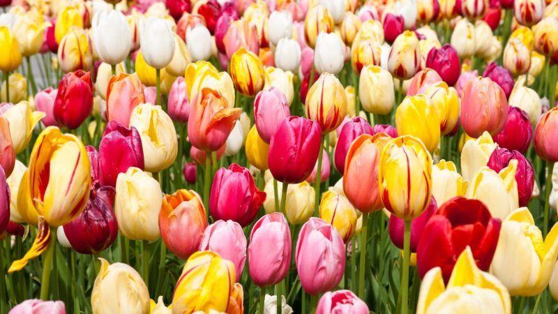 tulips_1161x653