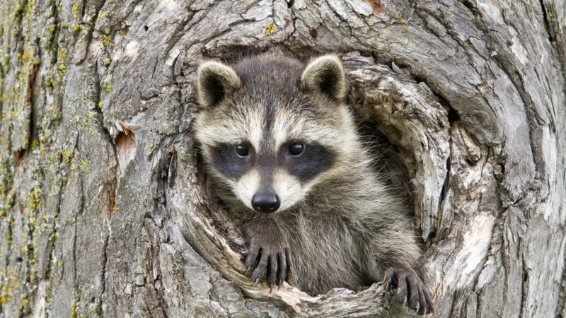 reason-raccoon1