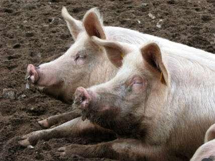 PigsOrgansEvelynSimakCreativeCommons