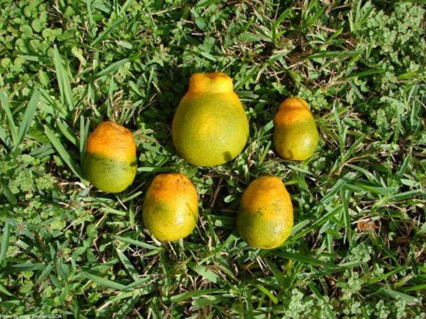 CitrusGreeningUSDA