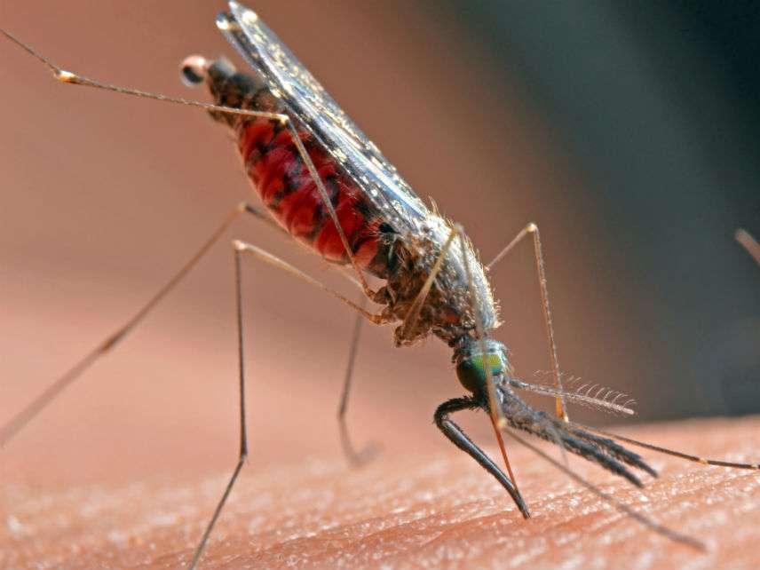 MalariaMosquitoesSuphatphongKoetnamsaiDreamstime