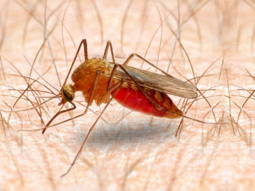 MalariaMosquitoVladvitekDreamstime