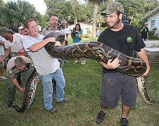 giant burmese python, hicks