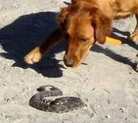 Dog and rattlesnake