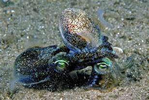 Southern dumpling squid.
