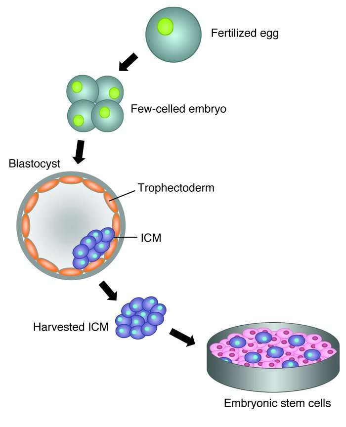 stem cell derivation