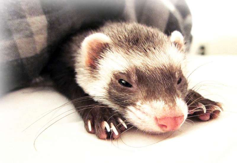 Ferret to schedule press conference to address accusations of being 'too cute.'