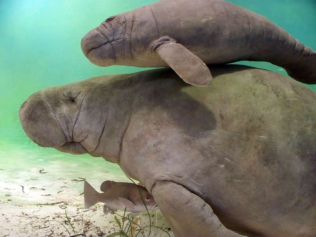 Manatees: The creatures the pioneered the idea that ugly animals are also cute.