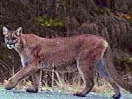 Cougar in California