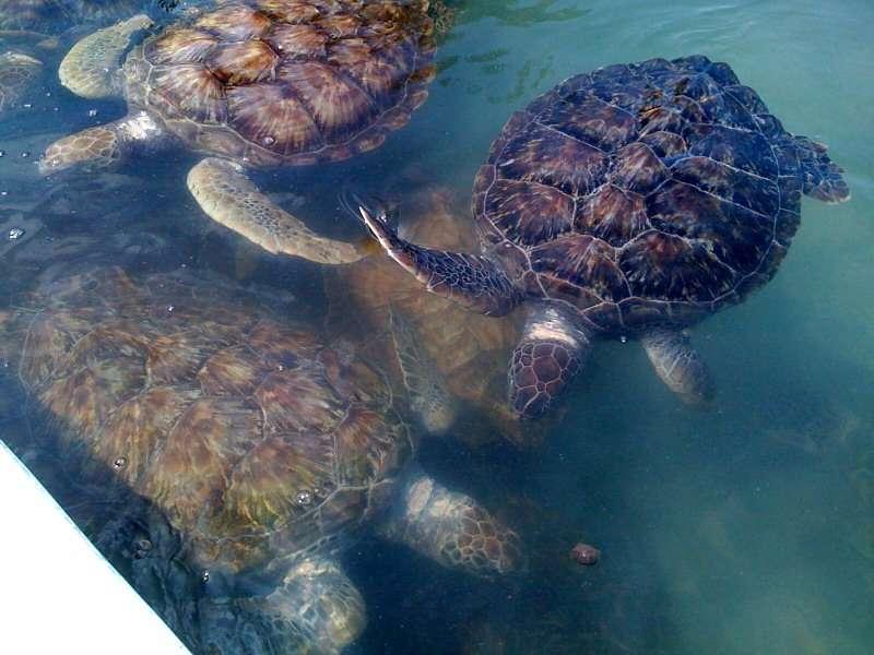 Cayman turtles