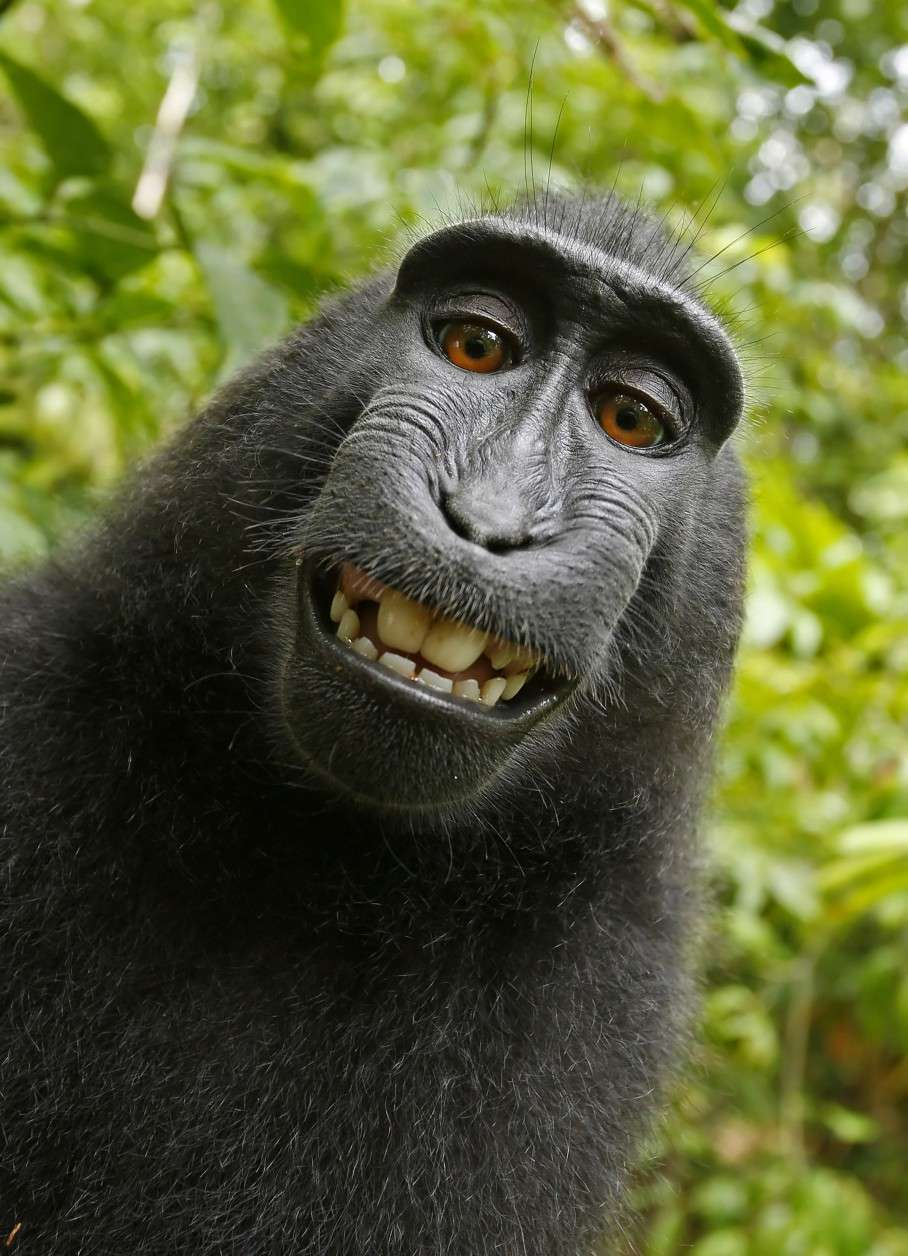 This 2011 photo provided by People for the Ethical Treatment of Animals (PETA) shows a selfie taken by a macaque monkey on the Indonesian island of Sulawesi with a camera that was positioned by British nature photographer David Slater. The photo is part of a court exhibit in a lawsuit filed by PETA in San Francisco on Tuesday, Sept. 22, 2015, which says that the monkey, and not Slater, should be declared the copyright owner of the photos. Slater has argued that, as the