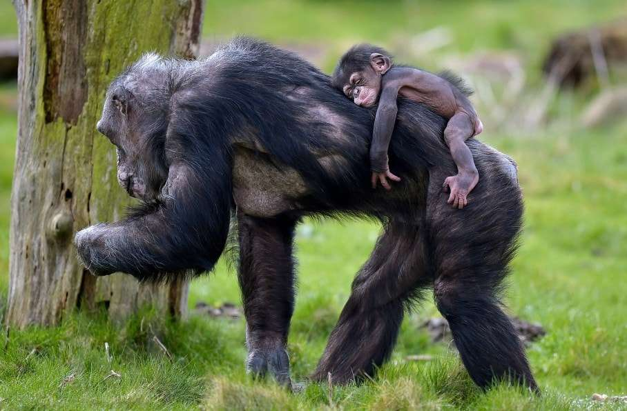 Baby chimpanzee Dayo sleeps on the back of its mother on a warm spring Tuesday, April 7, 2015 at the zoo in Gelsenkirchen, Germany. (AP Photo/Martin Meissner)